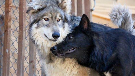 Wolf Caretaker