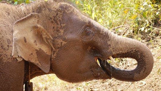 Elephant Conservation & Community Involvement