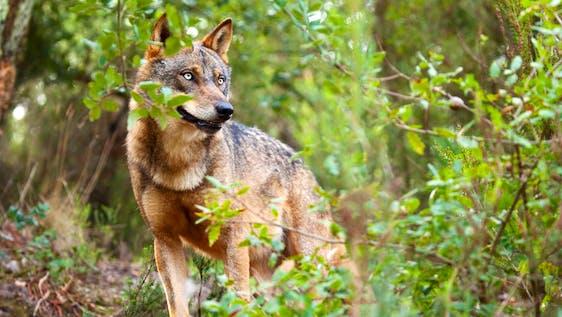 Wolf Sanctuary Caretaker
