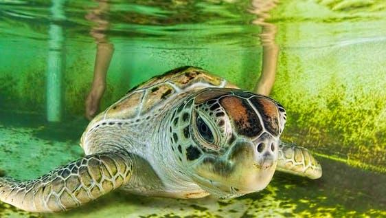 Coastal Sea Turtle Research