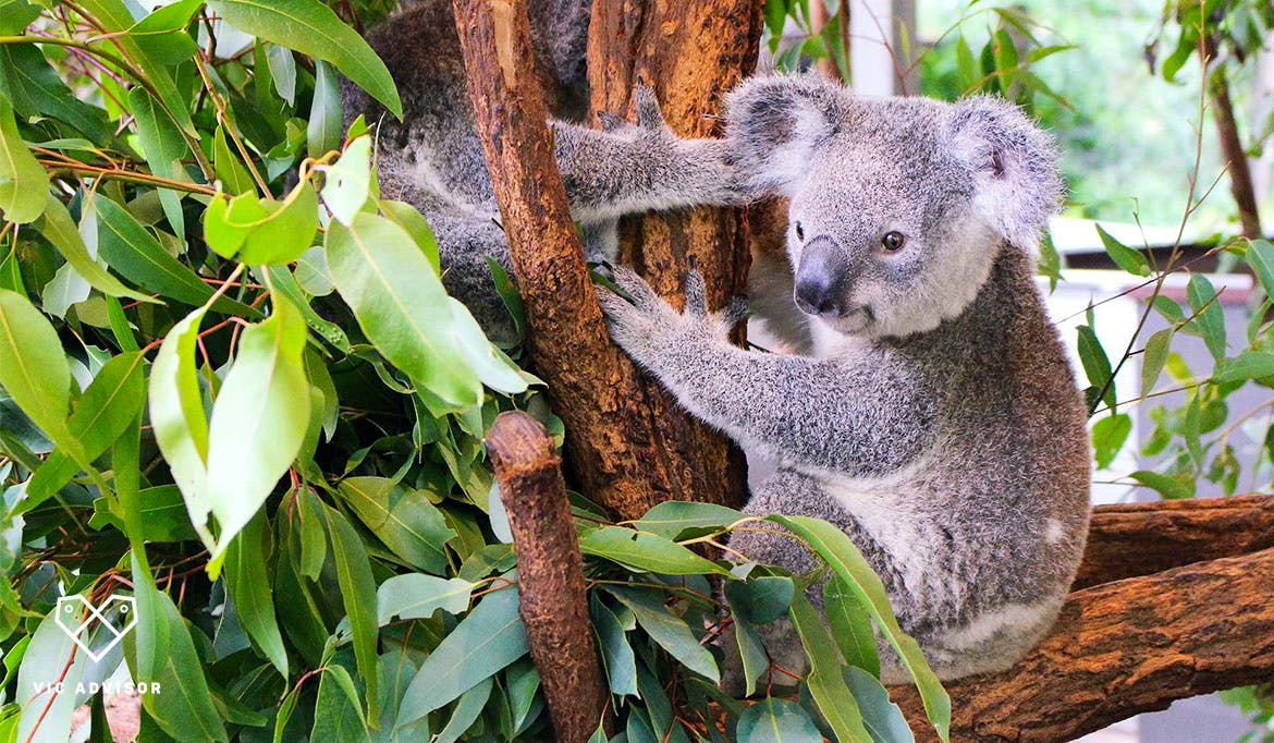 Koala Caretaker Assistant