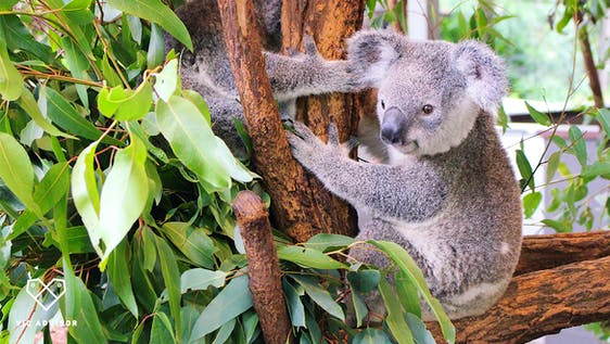 Koala Caretaker Assistant