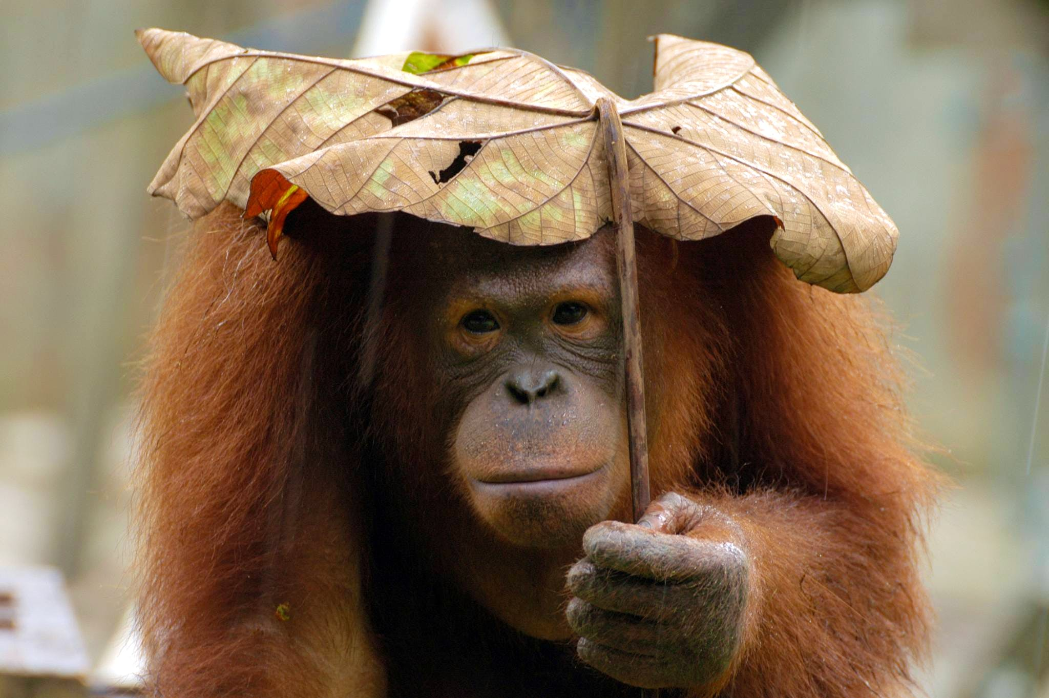 Orangutan and Pygmy Elephant Conservation