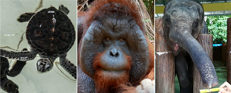 Orangutan, Elephant & Turtle Conservation