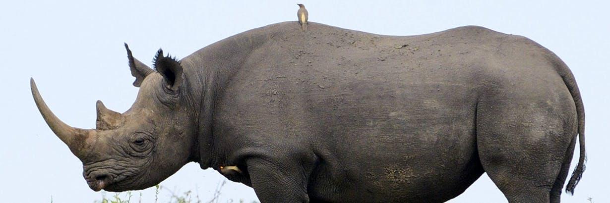 ▷ Rhino Conservation Volunteer 🦏| Top