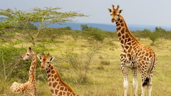 Giraffe & Lion Conservation