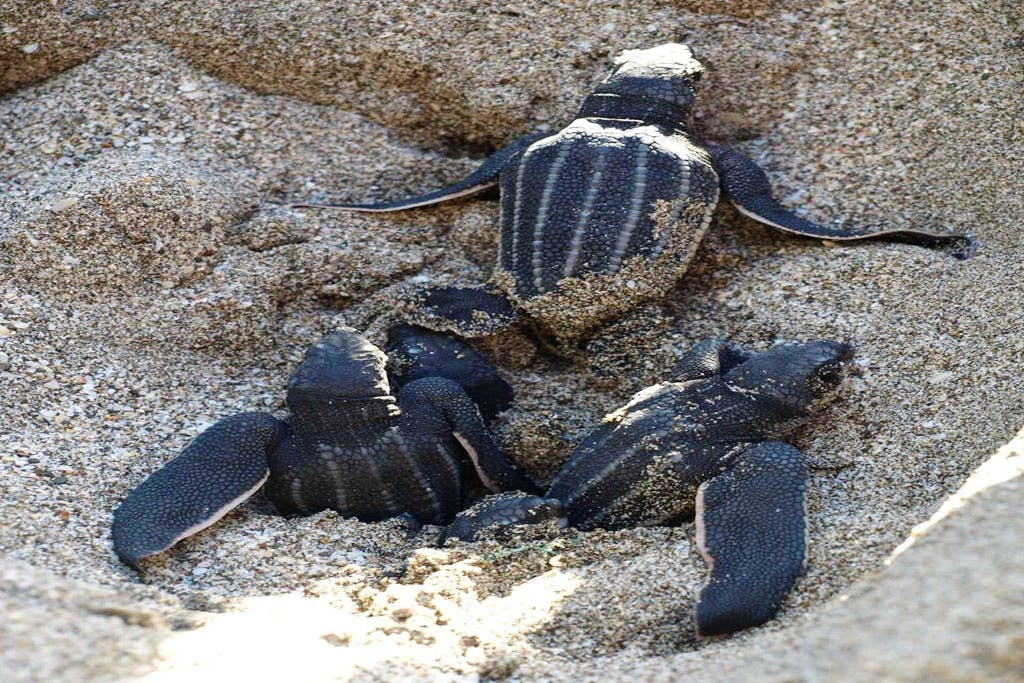 Protect Caribbean Sea Turtles