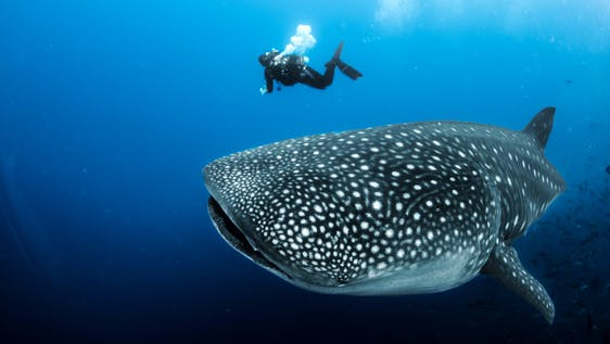 Whale Shark Conservation & Diving