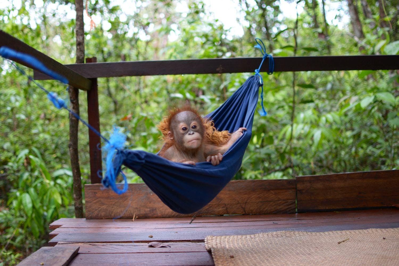 Orangutan Sanctuary Assistant