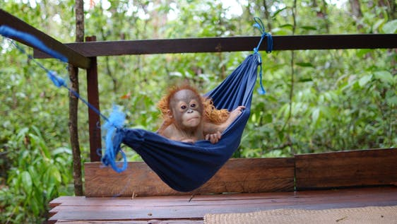 Orangutan Sanctuary Assistant