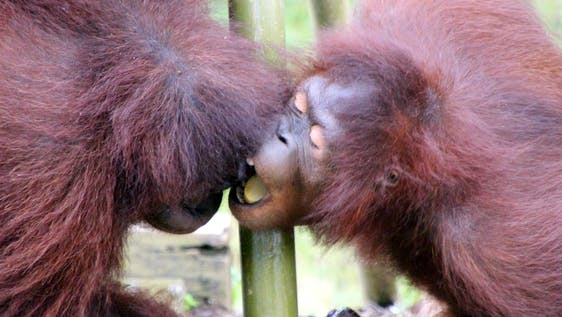 Care for Orang Utans on the Peninsula