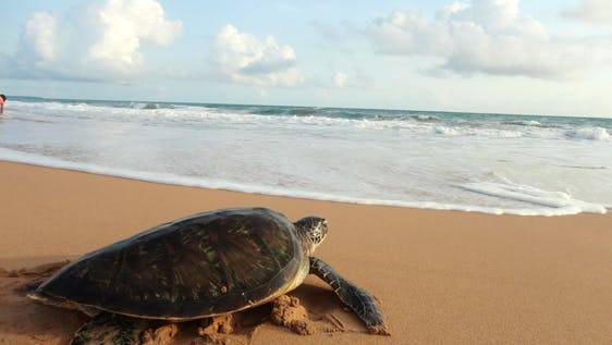Sea Turtle Conservation Sri Lanka