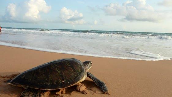 Sea Turtle Conservation Sri Lanka