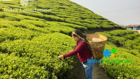 Tea Research & Organic Farming