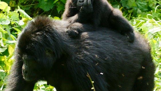 Gorilla & Chimpanzee Trekking