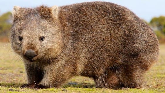 Australian Bushfire Response and Wombat Refuge