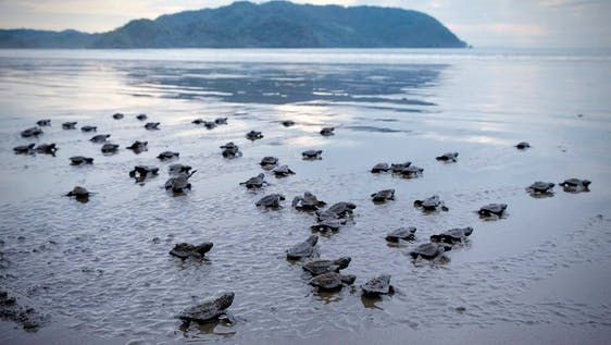 Olive Ridley Sea Turtle Conservation