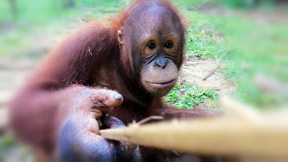 Orangutan & Elephant Conservation