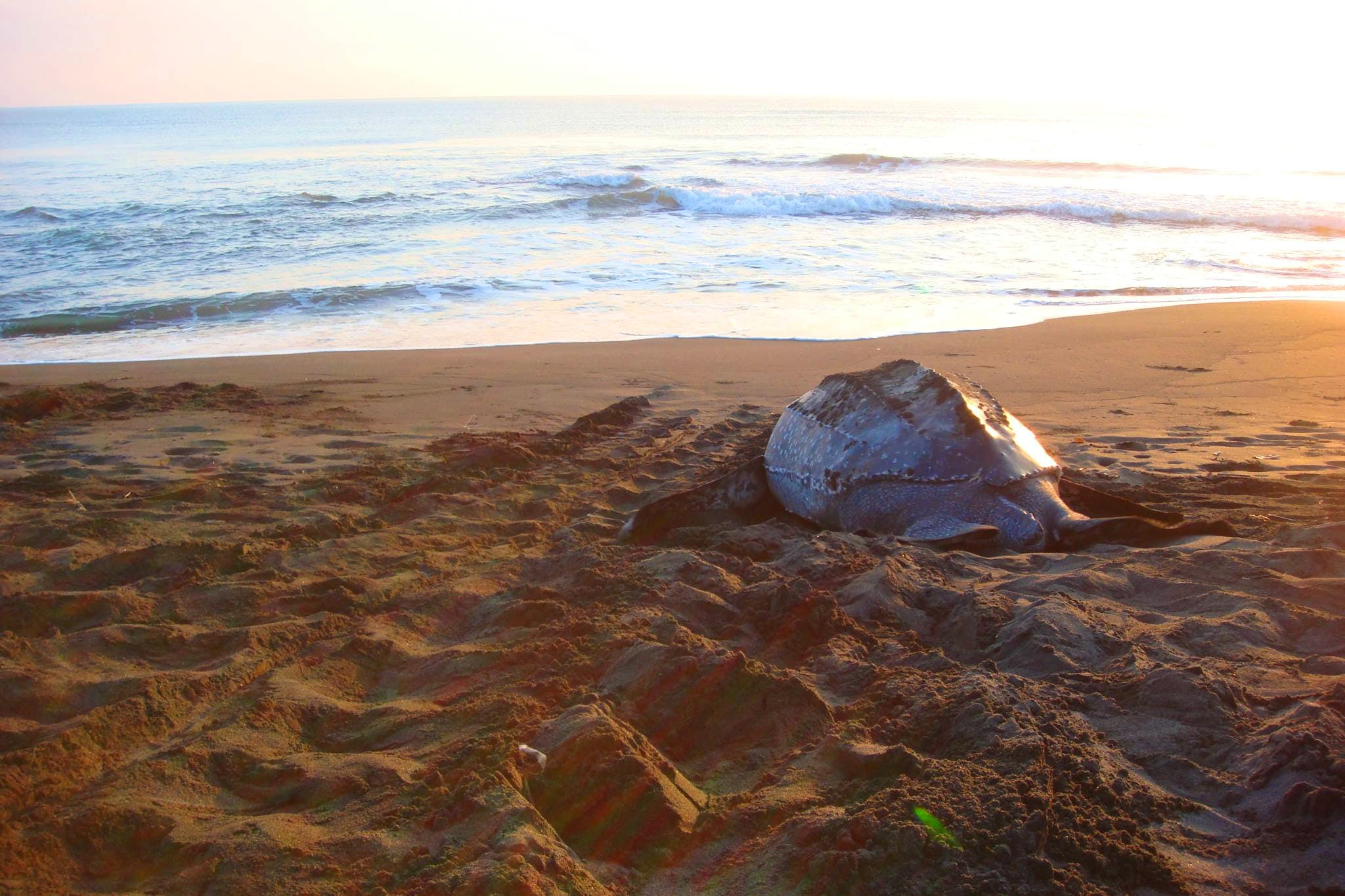 Leatherback Turtle Conservation