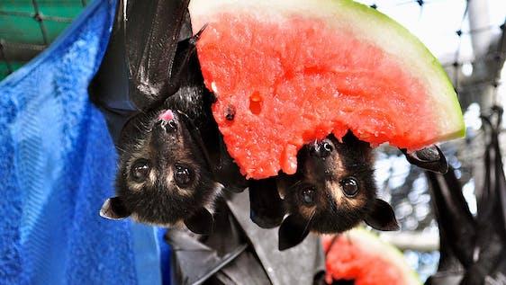 Bat Rescuer and Caretaker