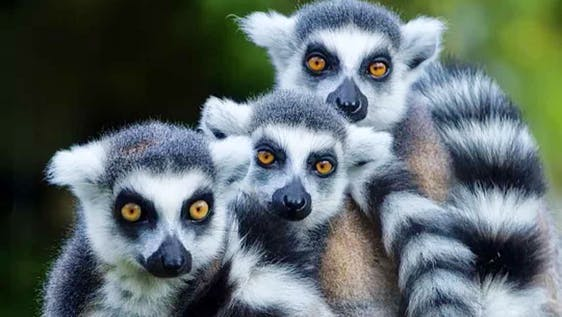 Lemur and Cattle Caretaker