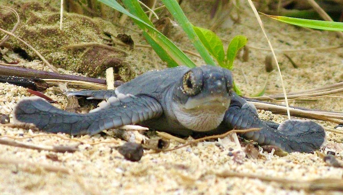 Save Turtles South of Tortuguero