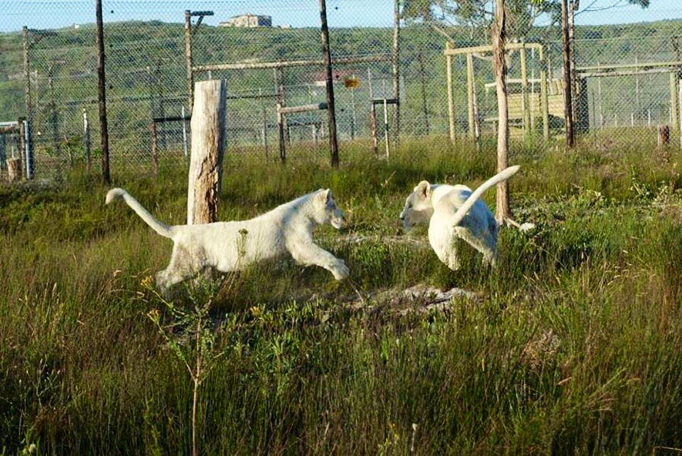 Western Cape Big Cat Sanctuary