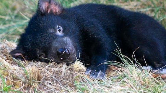 Tasmanian Devil Caretaker