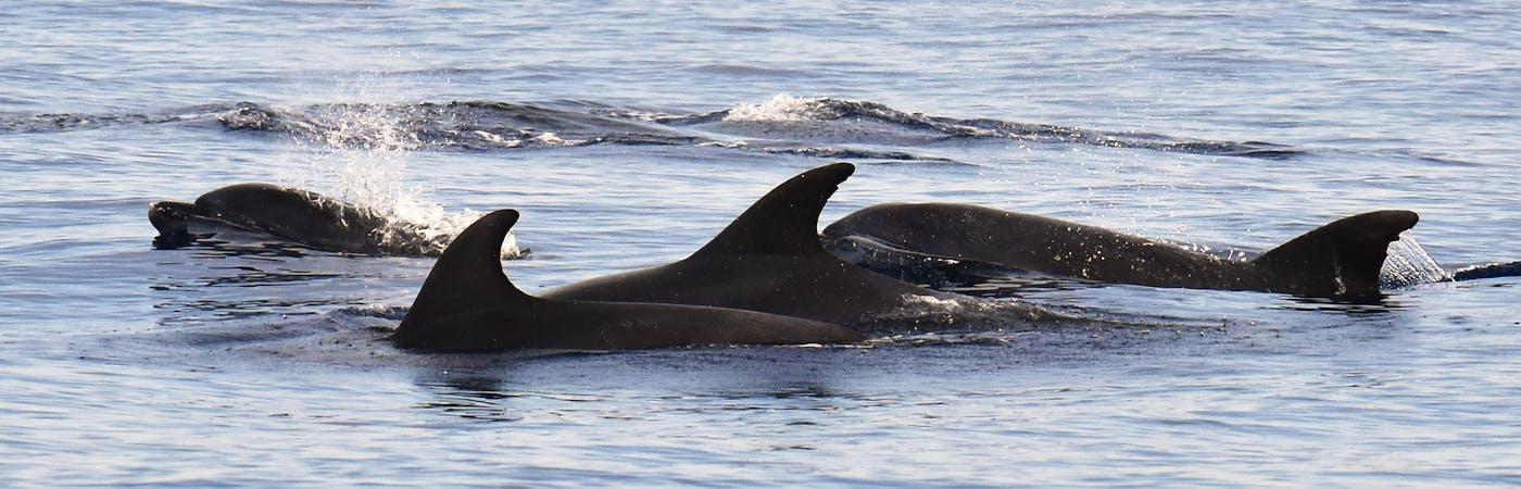 Dolphin Internship