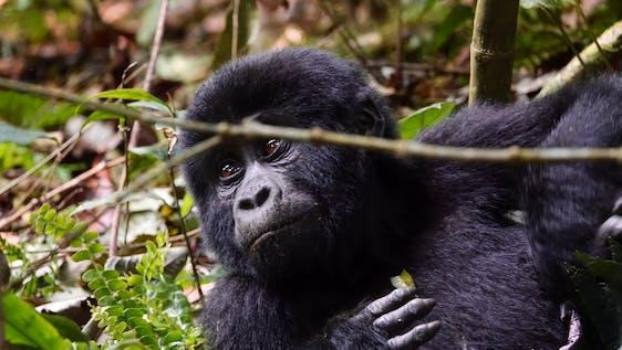 Ugandan Wildlife & Gorilla Conservation EduTour