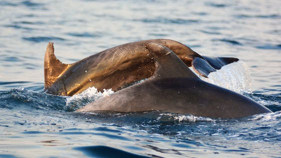 Dolphin conservation & research off Istria Croatia