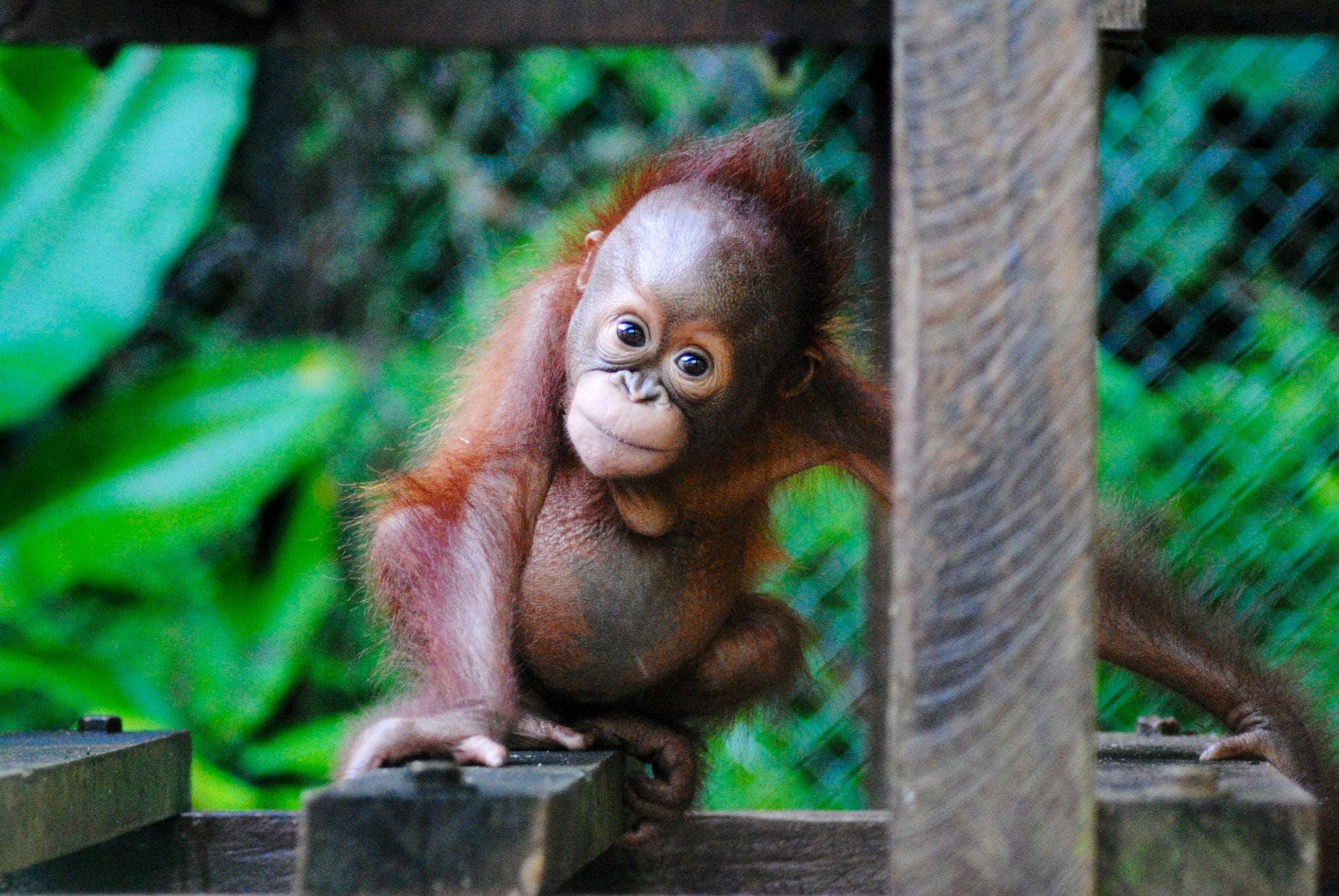 Orangutan Wildlife Center