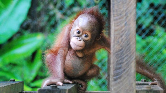 Orangutan Wildlife Center