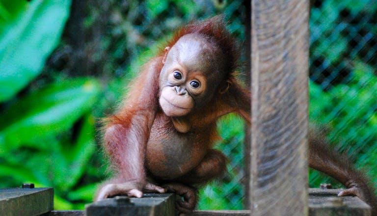 orangutan sanctuary volunteer