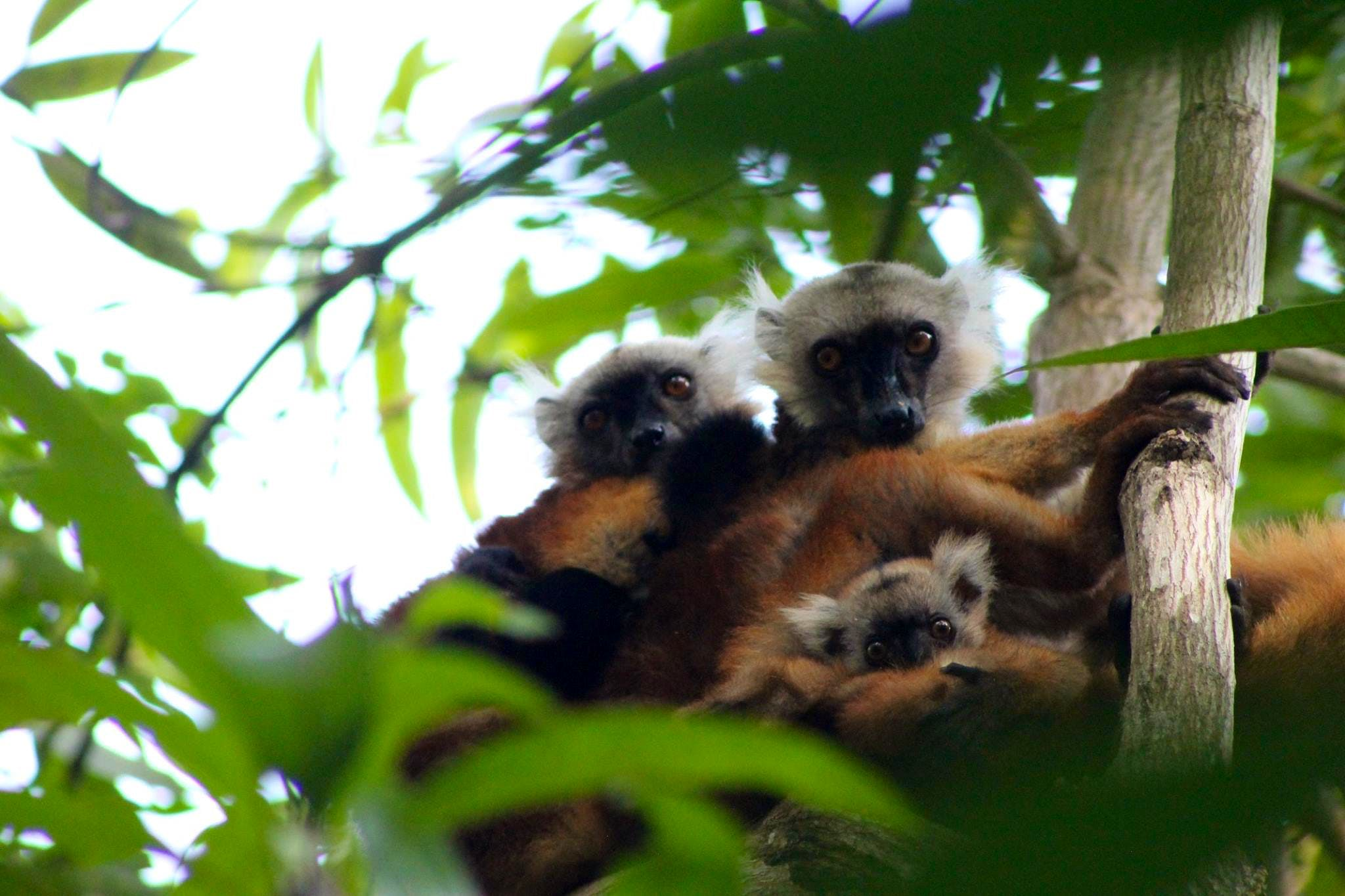 Lemur and Wildlife Conservation Supporter