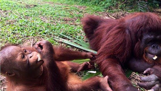Orangutan Conservation Internship