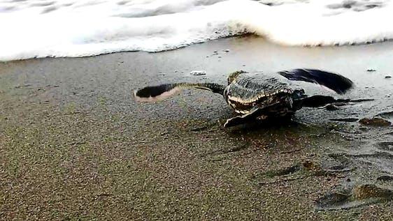 Marine turtle conservation