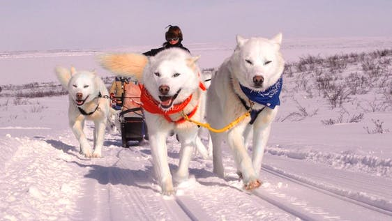 Arctic Huskies Caretaker and Dogsled Trainer