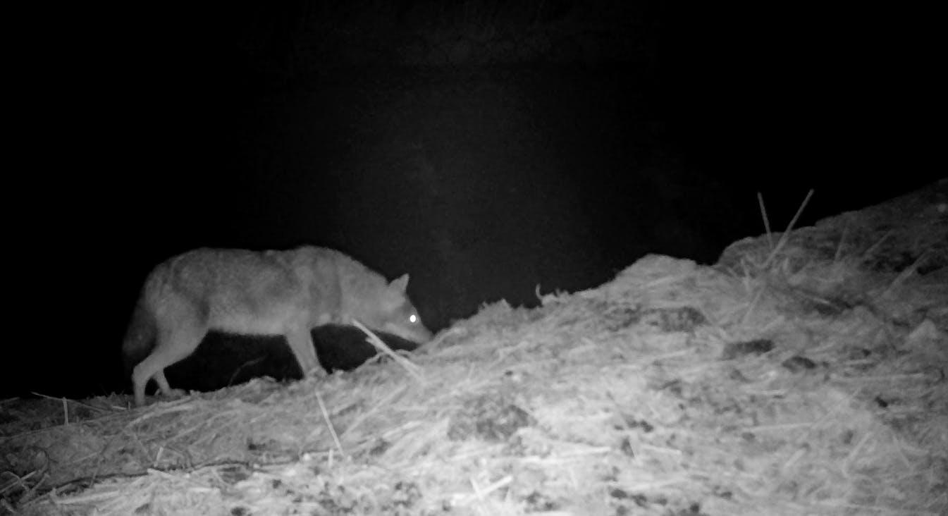 Jackals Research and Conservation Internship